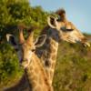 Desperate Giraffe Approaches Humans To Help Her Dying Newborn